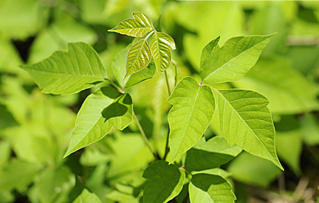 Rhus Toxicodendron - Homeopathic Remedies